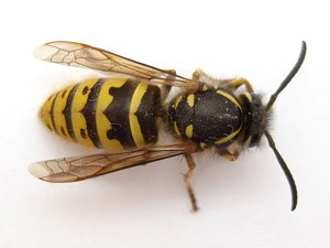 wasp-control-dundee
