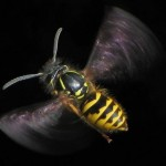 Flying_Vespula_vulgaris