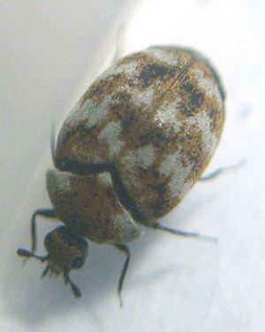 Carpet Beetles How To Get Rid Of Natural Way